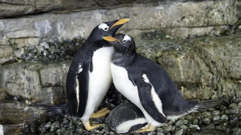 pingüinos hembra Oceanogràfic de Valencia